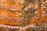 Fresh powder on pine and canyon wall, Bryce Canyon National Park, Utah