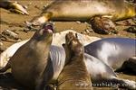 Elephant Seals (Mirounga angustirostris), Monterey Bay National Marine Sanctuary, San Simeon, California