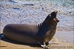 Elephant Seal (Mirounga angustirostris), Monterey Bay National Marine Sanctuary, San Simeon, California