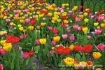 Tulips at the Boston Public Garden, Boston, Massachusetts