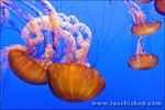 Sea nettles (Chrysaora fuscescens) at the Monterey Bay Aquarium, Monterey, California