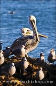 California brown pelicans (Pelecanus occidentalis), Avila Beach, California USA