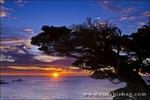 Cypress Tree (Cupressus macrcarpa) at sunset, Point Lobos State Reserve, Carmel, California