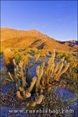 Morning light on cholla and barrel cactus, Anza-Borrego Desert State Park, California USA