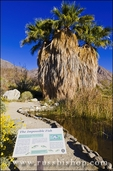 Palm oasis and pupfish display at the visitor center, Anza-Borrego Desert State Park, California USA
