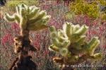 Morning light on cholla cactus and chuparosa, Anza-Borrego Desert State Park, California USA