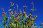 Ocotillo in the Coyote Mountains, Anza-Borrego Desert State Park, California USA