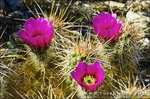 Englemann Hedgehog cactus (Echinocereus engelmannii) in bloom in Plum Canyon, Anza-Borrego Desert State Park, California USA