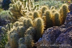 Cholla in Plum Canyon, Anza-Borrego Desert State Park, California USA