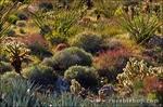 Desert garden in Plum Canyon, Anza-Borrego Desert State Park, California USA