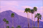 Palm trees under San Ysidro Mountain, Anza-Borrego Desert State Park, California USA