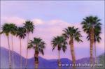 Palm trees under San Ysidro Mountain, Anza-Borrego Desert State Park, California USA