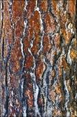 Ice on pine tree bark, San Bernardino National Forest, California USA