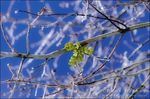 Mistletoe on frozen branch, San Bernardino National Forest, California USA