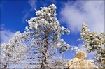 Rime ice on pine trees, San Bernardino National Forest, California USA