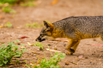 Island Fox at Scorpion Ranch, Santa Cruz Island, Channel Islands National Park, California USA