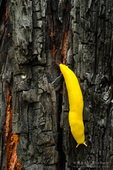 Banana slug, Lime Kiln State Park, Big Sur, California USA