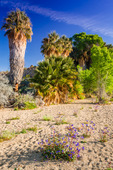 California fan palms at the Cottonwood Spring Oasis, Joshua Tree National Park, California USA