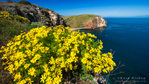Giant Coreopsis above Scorpion Cove, Santa Cruz Island, Channel Islands National Park, California USA