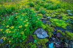 Wildflowers on Logan Pass, Glacier National Park, Montana USA