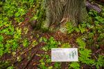 Interpretive sign (Western Red Cedar) on the Trail of the Cedars, Glacier National Park, Montana USA
