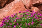 Wildflowers, Canyon de Chelly National Monument, Arizona USA