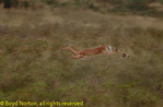 Impala fleeing from predator, Serengeti National Park, Tanzania.