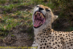 Yawning (laughing?) cheetah, Serengeti National Park, Tanzania.