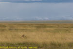 Cheetah in tall grass, Serengeti National Park, Tanzania.