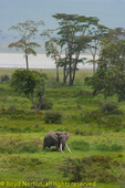 Some of the largest tusked elephants are found in Ngorongoro Crater, protected from poachers, Ngorongoro Conservation Area, Tanzania.