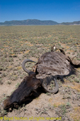 Wildebeest that didn't make it, probably died of drought or disease. Serengeti National Park, Tanzania.