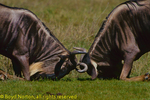 Wildebeest fighting for territory and female harem, Serengeti National Park, Tanzania.