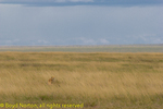Cheetah in long grass, Serengeti National Park, Tanzania.
