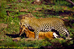 Kenya, Masai Mara, national reserve, leopard with kill, a Thomson's gazelle.