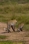 Leopard with cub, Serengeti National Park, Tanzania.