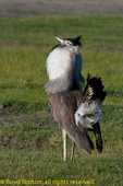 Kori bustard in courtship display, Serengeti National Park, Tanzania.