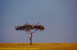 Marabou storks in acacia tree, Masai Mara National Reserve, Kenya