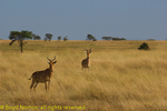Coke's hartebeest or kongoni, Serengeti National Park, Tanzania.