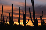 Saguaro National Park West. High clouds and Saguaros in winter sunset twilight.