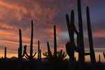 High clouds and Saguaros in winter sunset twilight, Saguaro National Park West.