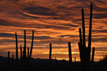 Saguaro Cacti and a winter sunset twilight sky, with high and middle level clouds, Saguaro National Park West.