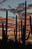 Fall sunset in Saguaro National Park West, with Saguaros and mid-level clouds.
