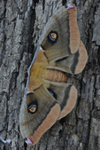 Arizona Polyphemus Moth, Family Saturniidae. Bear Canyon Recreation Area, Santa Catalina Mountains.