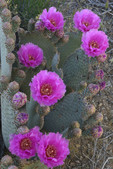 Beavertail Cactus, Yavapai Co., northwest AZ. Jct Hwy. 93 & Hwy. 97.