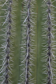 Saguaro Cactus (Cereus giganteus) spine arrangement, in Saguaro National Park West.