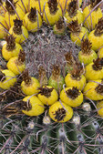 Barrel Cactus  fruits. Saguaro National Park West.