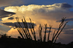 Thunderhead in summer sunset light, with Ocotillo.  Box Canyon, Santa Rita Mountains.
