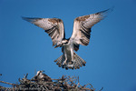 Male Osprey (Pandion haliaetus carolinensis) returning to Female at Nest with Fish Prey, Sanibel Island, Florida.  Also known as the Seahawk, Fish Hawk, or Fish Eagle, the Osprey occurs nearly worldwide.