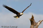 Southern Bald Eagle (Haliaeetus l. leucocephalus) Flying back to nest with Fish to feed to eaglets, southwest Florida.   The Bald Eagle is the national bird and the national symbol of the United States.