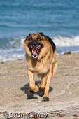 German Shepherd / Alsatian (Canis lupus familiaris) Male running at the Beach in southwest Florida. This popular Breed was originally developed for herding sheep.  They are also employed as guide dogs for the blind, police dogs, guard dogs, search & rescue dogs, military dogs, and family pets.  MR.